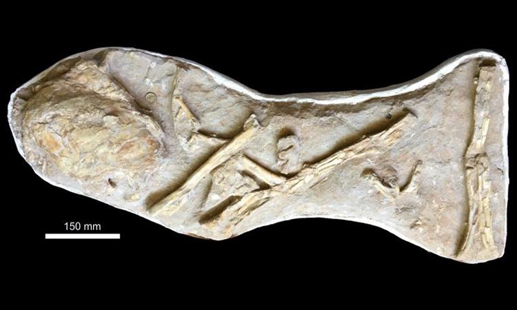 Hóa thạch phổi của cá vây tay 66 triệu năm tuổi nằm cạnh những đoạn xương bò sát bay Pterodactylus. Ảnh: Đại học Portsmouth.