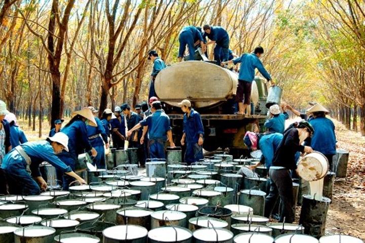Công nhân Tập đoàn Cao su Việt Nam thu hoạch cao su tại nông trường Đông Nam Bộ. Ảnh: Phương Đông