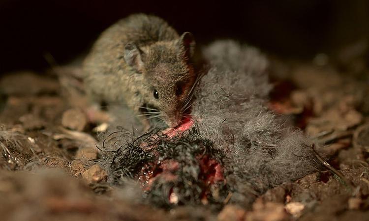 Chuột xâm lấn ăn thịt chim con mới nở trên đảo Gough. Ảnh: RSPB.