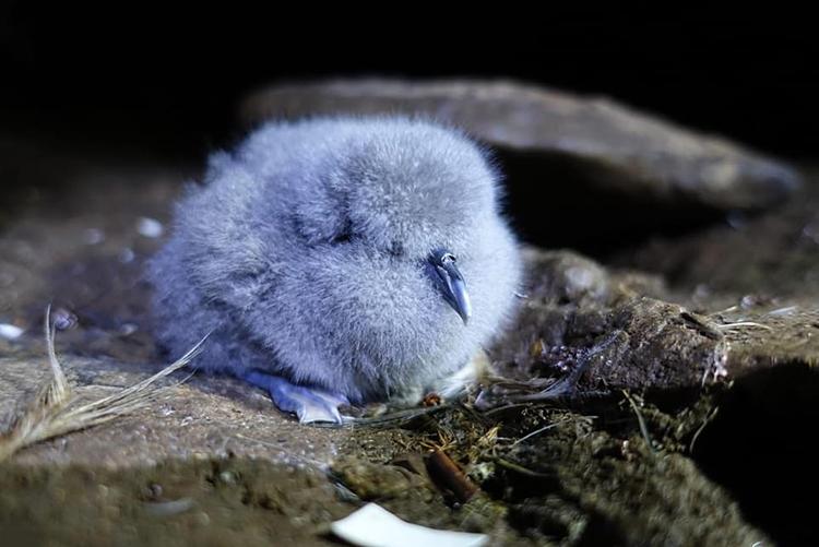 Chim MacGillivary´s Prion non duy nhất sống sót trong lứa sinh sản năm nay. Ảnh: Wire feeds.