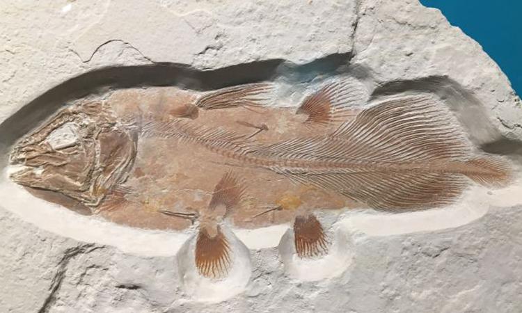 Một hóa thạch cá vây tay hoàn chỉnh được tìm thấy ở Đức. Ảnh: Đại học Portsmouth.