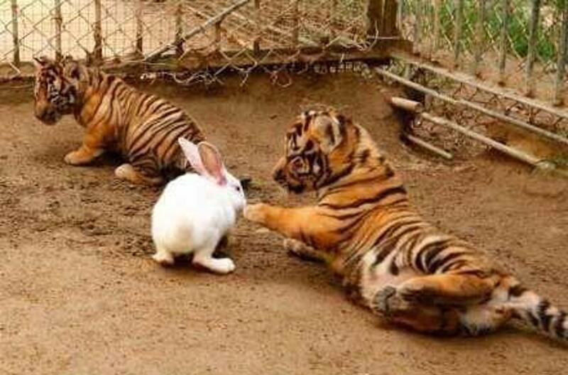 Hổ kết thân với thỏ con
