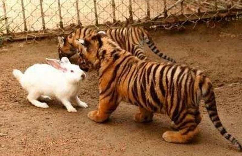 Hổ kết thân với thỏ con - 2