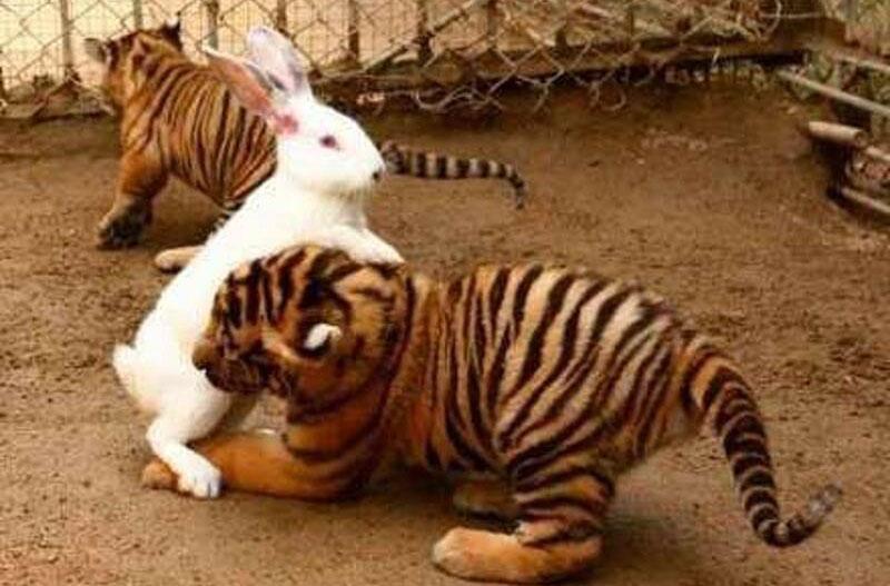 Hổ kết thân với thỏ con - 4
