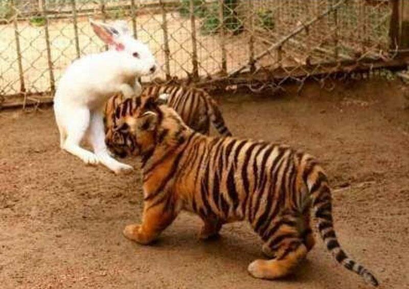 Hổ kết thân với thỏ con - 6