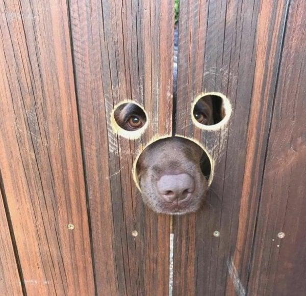 Hàng xóm mới nhận nuôi một chú chó nên bố tôi đã khoét lỗ trên hàng rào.
