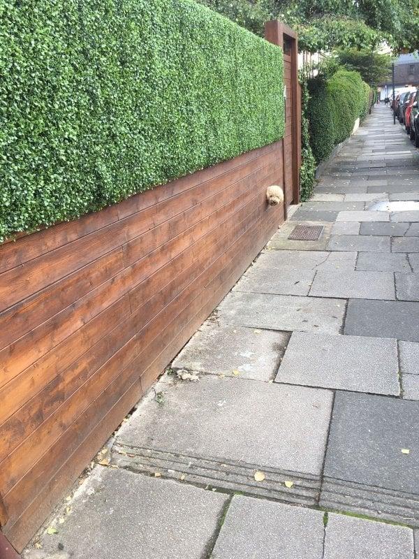 Chủ nhân của chú chó này còn tạo một lỗ hổng trên hàng rào để cu cậu thoả thích hóng hớt.
