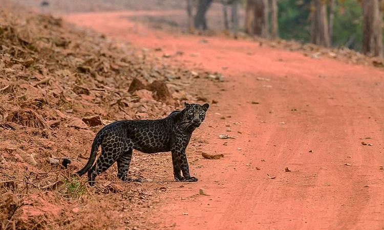 Con báo đực có bộ lông đen với các đốm nổi bật. Ảnh: Anurag Gawande.
