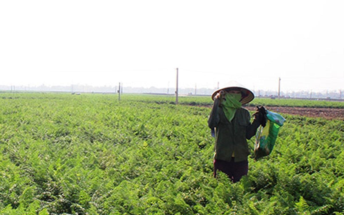 Nông dân xã Đức Chính (Cẩm Giàng) trên ruộng cà rốt chưa thu hoạch. Ảnh: Báo Hải Dương