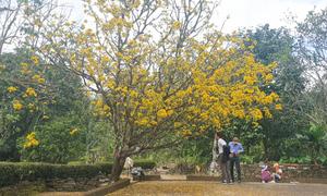 Mai vàng cao 10 m nở hoa đến Rằm tháng Giêng