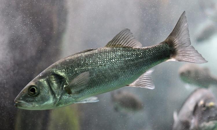 Cá vược châu Âu có thể chịu những rung lắc mạnh trong quá trình phóng tên lửa. Ảnh: Our Marine Species.