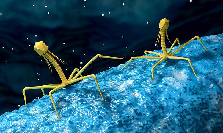 Minh họa một loại virus đang tấn công vi khuẩn trong đường ruột của con người. Ảnh: WSI.
