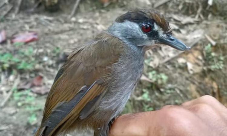 Chim Malacocincla perspicillata thuộc bộ Sẻ tái xuất tại Borneo. Ảnh: M. Suranto.