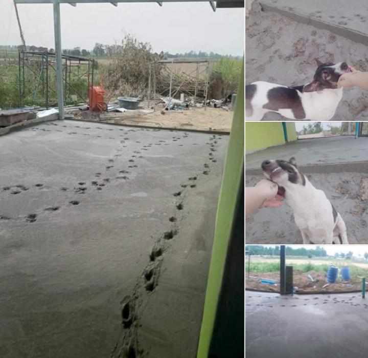 Dấu chân chi chít trên nền bê tông mới đổ khi chó cưng đi lên.