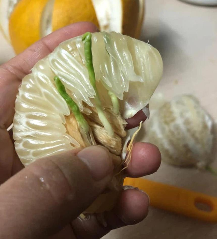 Bổ bưởi ăn, ngỡ ngàng thấy hạt nảy mầm - 8