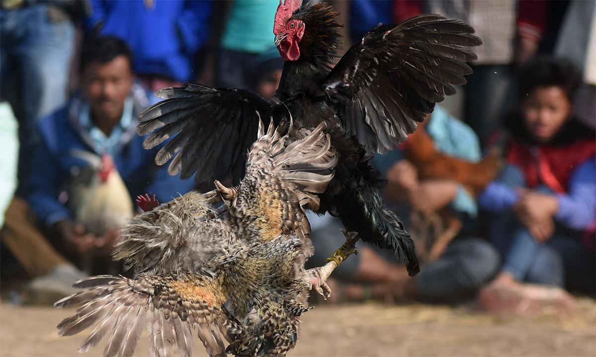 Một sới gà ở Ấn Độ. Ảnh: AFP.