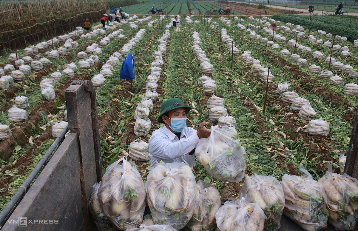 Người dân thôn Đông Cao thu hoạch rau cải bán với giá 1.000 đồng/kg. Ảnh: Tất Định.