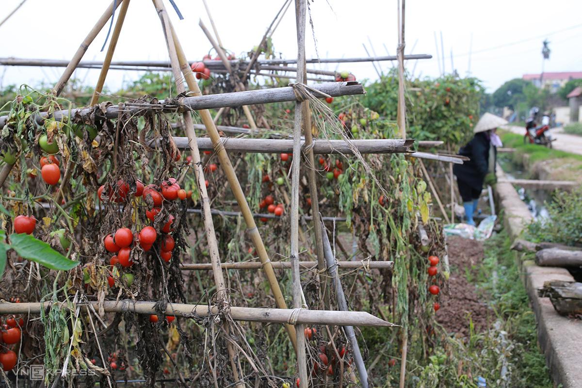 Thôn Đông Cao tồn đọng 100 tấn cà chua chưa thu hoạch. Ảnh: Tất Định.