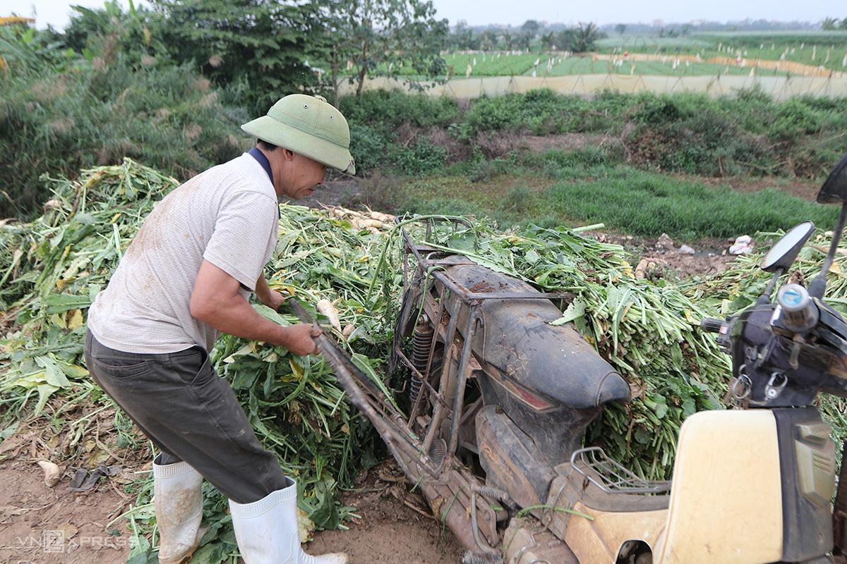 Anh Nguyễn Văn Thực, 47 tuổi, thôn Đông Cao đổ bỏ củ cải quá lứa. Ảnh: Tất Định.
