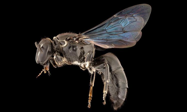 Ong Pharohylaeus lactiferous xuất hiện lại sau gần một thế kỷ. Ảnh: James Dorey/Đại học Flinders.
