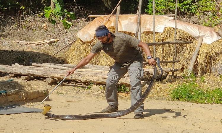 Giri xử lý con rắn hổ mang chúa dài 2,5 m. Ảnh: Mahima A. Jain.