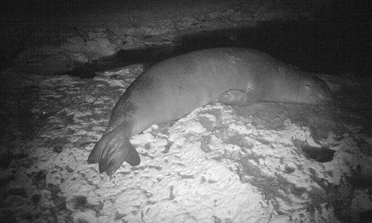 Monachus monachus là loài hải cẩu hiếm nhất thế giới. Ảnh: Damla Beton.