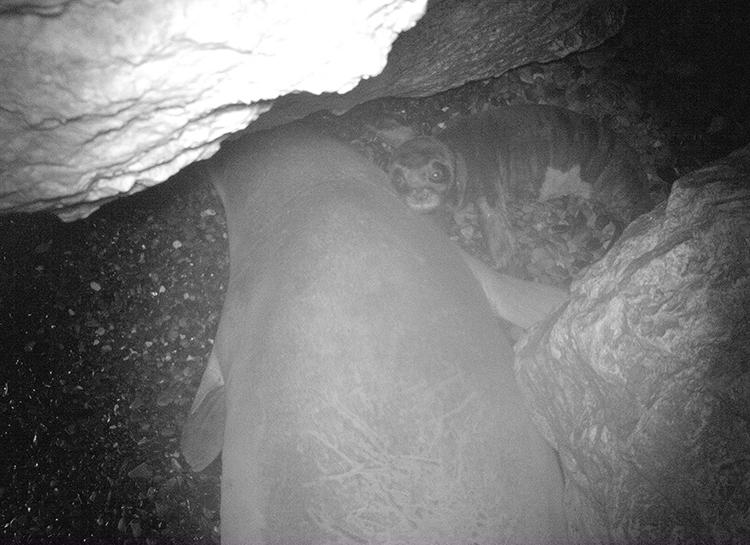 Bẫy camera cho thấy một con hải cẩu thầy tu mới sinh ở Cyprus. Ảnh: SPOT.