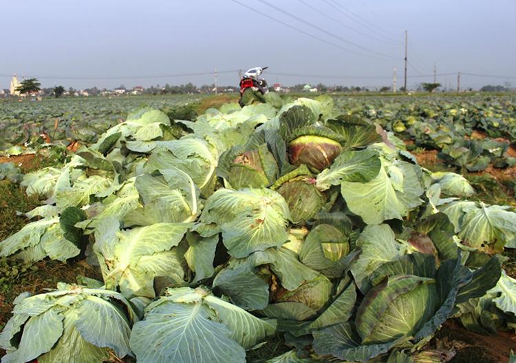 Bắp cải được người dân tấp đồng đầu ruộng ở huyện Diễn Châu chờ người mua. Ảnh: Phương Linh