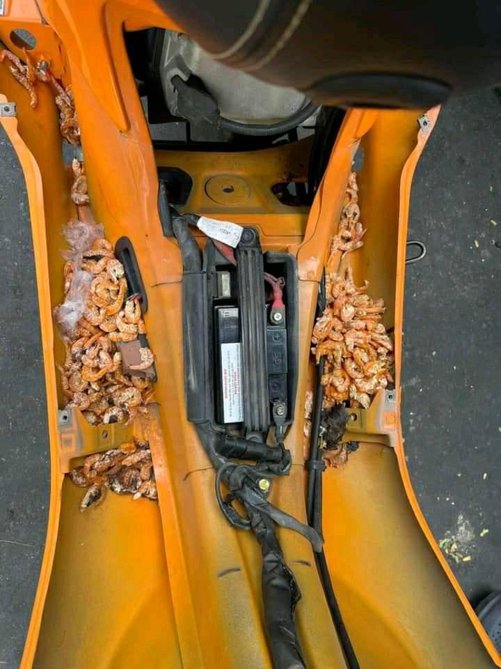 Chuột trộm tôm khô mang vào xe máy - 2