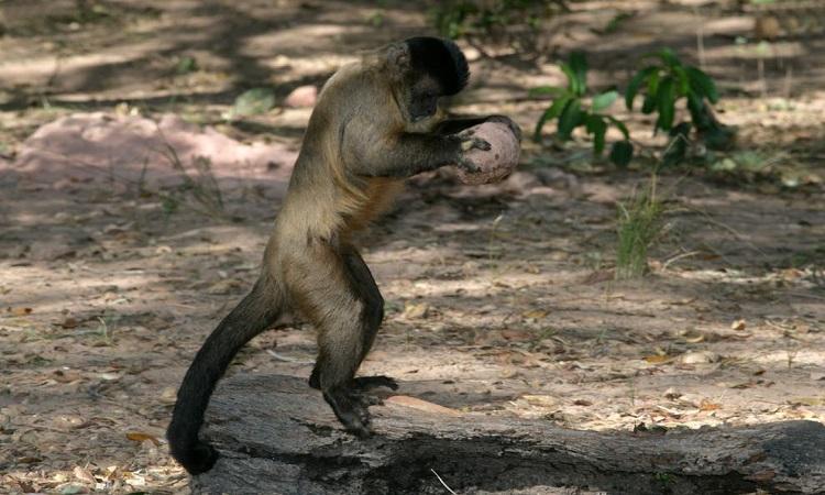 Khỉ capuchin có khả năng sử dụng nhiều công cụ đá. Ảnh: iStock.