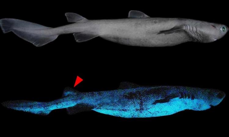 Phần bụng dưới phát quang trong bóng tối của một con cá mập. Ảnh: Jérôme Mallefet.