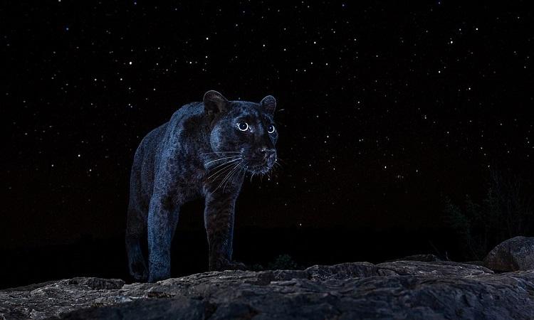 Con báo hoa mai lang thang tìm mồi trong đêm. Ảnh: Will Burrard-Lucas.
