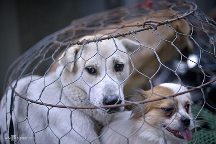 Ba con chó bị thu gom trong chiến dịch bắt chó thả rông ở Hà Nội năm 2018. Ảnh: Tất Định