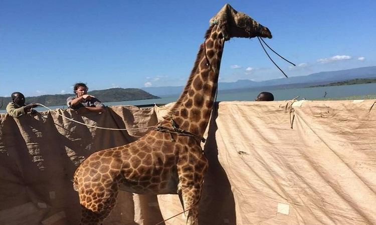 Hươu cao cổ vượt sông trên bè mảng. Ảnh: Save Giraffes Now.