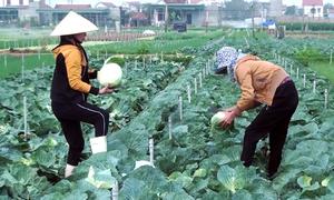 Nông dân Nghệ An vứt bỏ hàng nghìn tấn rau củ