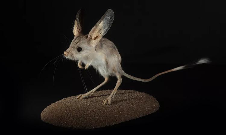 Chuột nhảy có đôi tai dài bằng 40 - 50% cơ thể. Ảnh: Ullstein Bild.
