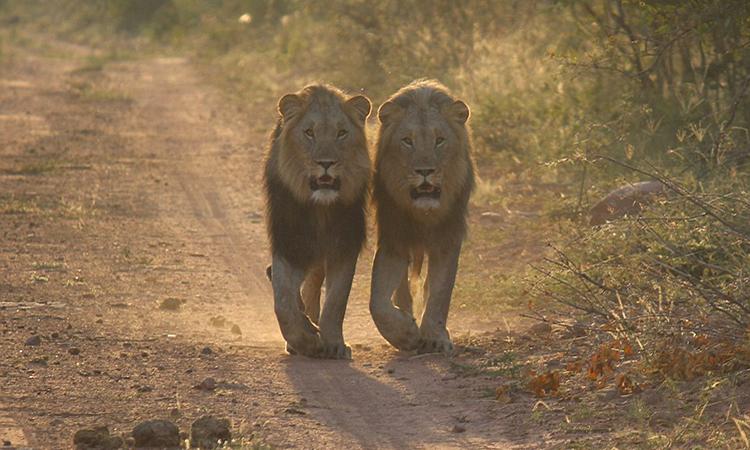 Một cặp sư tử đực lang thang trong vườn quốc gia Marakele ở Nam Phi. Ảnh: Alamy.
