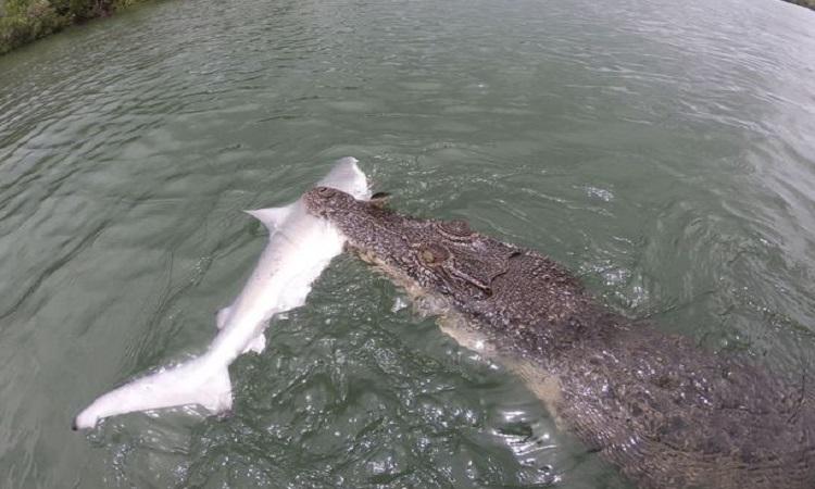 Cá sấu ngoạm xác cá mập sau khi đánh bại hai ngư dân. Ảnh: Kennedy News & Media.