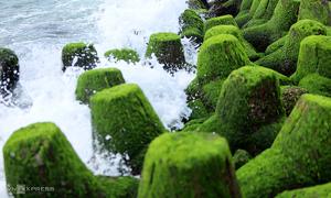 Rêu xanh phủ kín kè chắn sóng biển Nha Trang