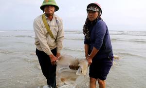 Ngư dân Hà Tĩnh đổ ra bờ biển bắt sứa