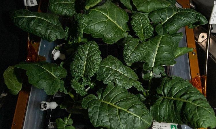 Cây mù tạt amara mọc trên trạm ISS. Ảnh: NASA.