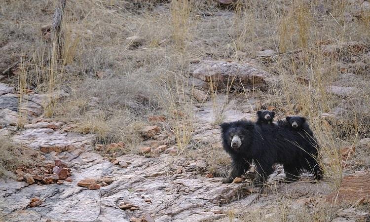 Gấu lười mẹ mang theo hai con non. Ảnh: Caters.