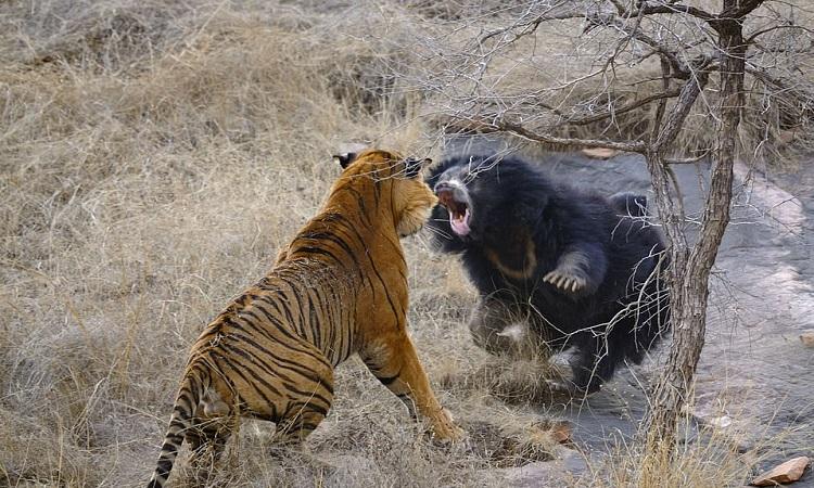 Gấu mẹ lao tới tấn công hổ cái. Ảnh: Caters.