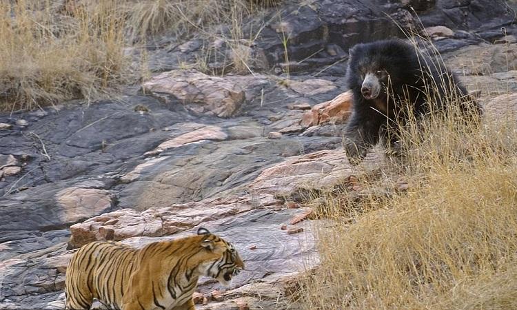 Hổ Bengal thối lui sau một hồi giao chiến với gấu lười. Ảnh: Caters.