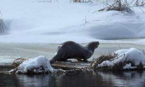 Rái cá săn mồi dưới dòng sông đóng băng