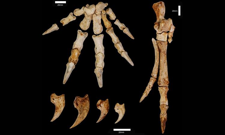 Xương bàn chân hóa thạch tiết lộ loài kangaroo tiền sử có khả năng leo cây. Ảnh: Đại học Murdoch.