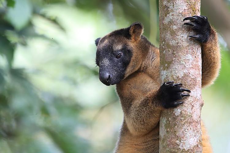 Một loài chuột túi cây còn sống hiện nay nặng khoảng 14 kg. Ảnh: Frank Fichtmueller.