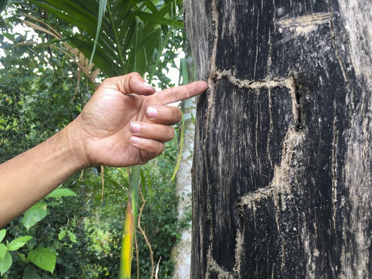 Ông On đã thử khoan thân cây để cấy trầm nhưn không thành công. Ảnh: Phạm Linh.