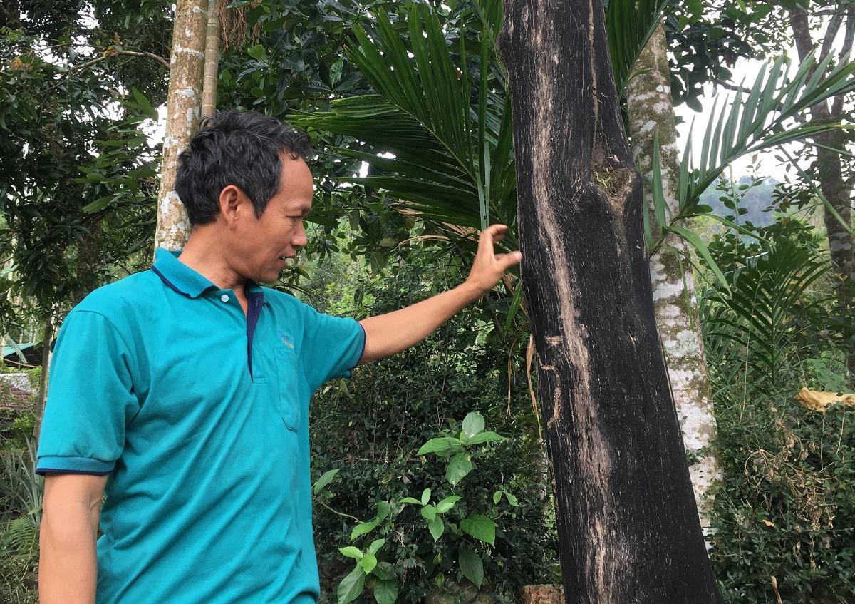 Ông On bên một cây dó bầu đã chết. Ảnh: Phạm Linh.