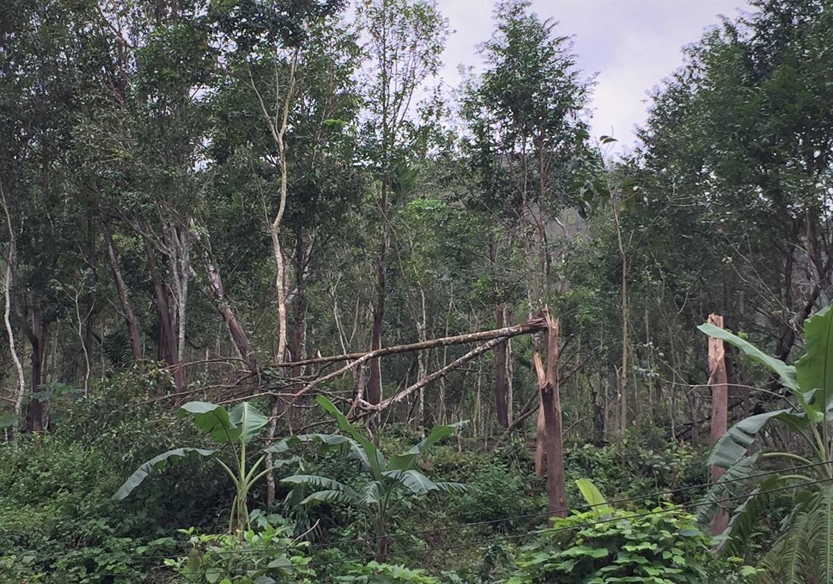 Vườn dó bầu của người dân xã Trà Sơn ngã đổ sau những cơn bão năm 2020. Ảnh: Phạm Linh.